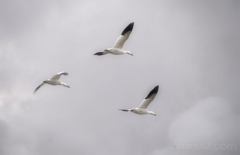 Last of the Snow Geese