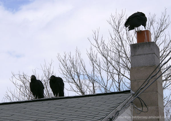 Three Black Vultures on the Roof!