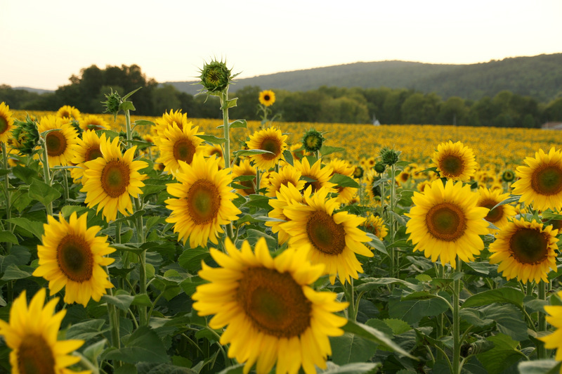 Donaldson Farm Sunflowers