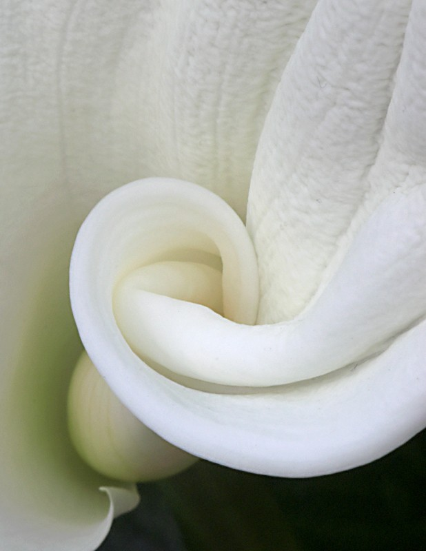 Cala Lily Detail