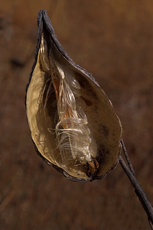 Milkweed Seedpod