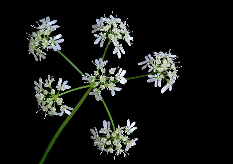 Cilantro Flowers