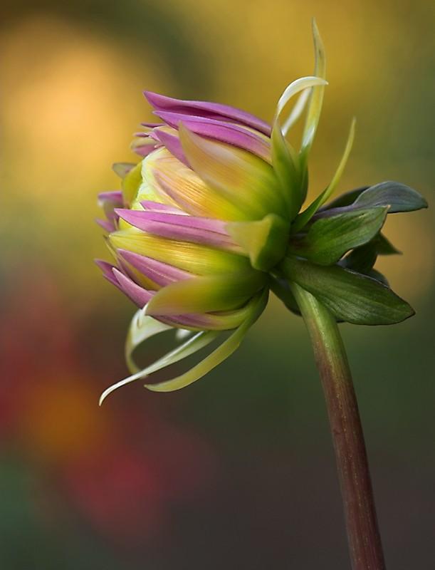 Dahlia 'Taratahi Lilac'