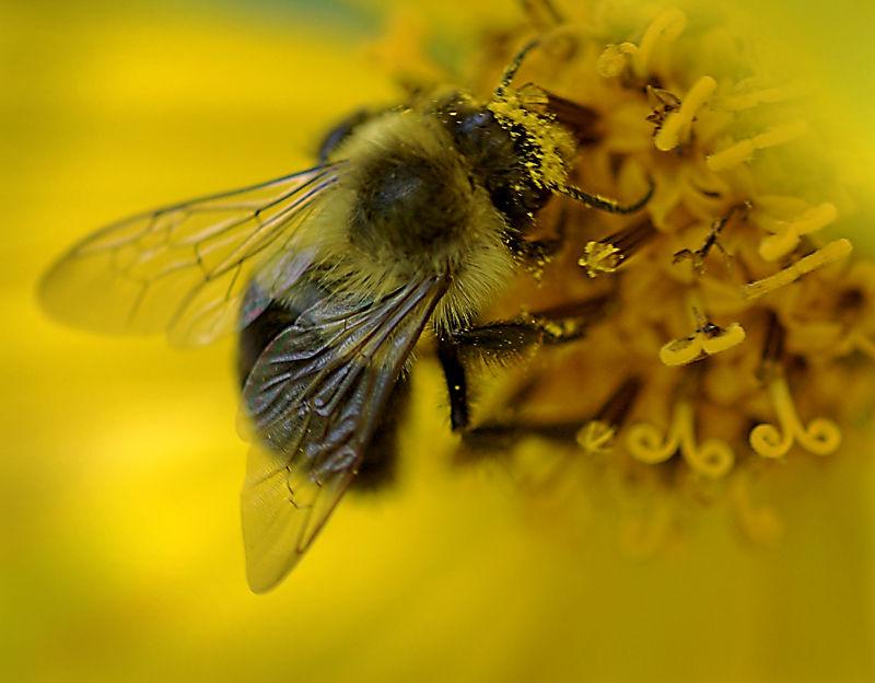 Bee on Helianthus
