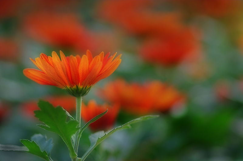 Orange Mums
