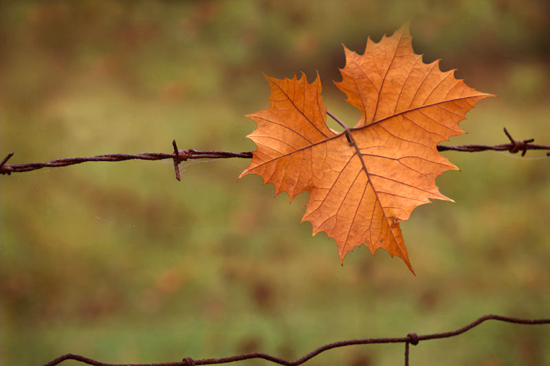 Leaf on Fence