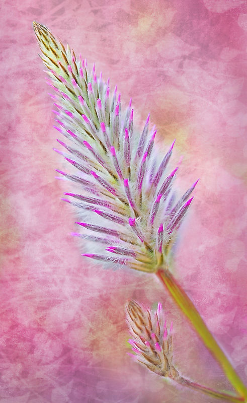 Pink Mulla-mulla with Texture