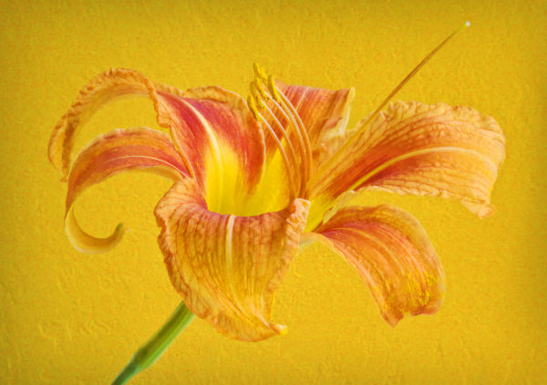 Textured Daylily