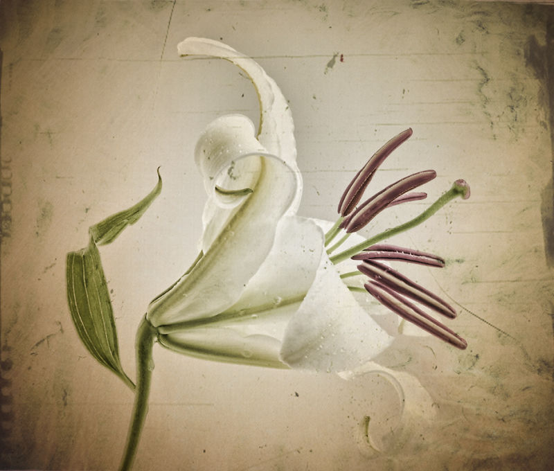 Lily with Texture 3