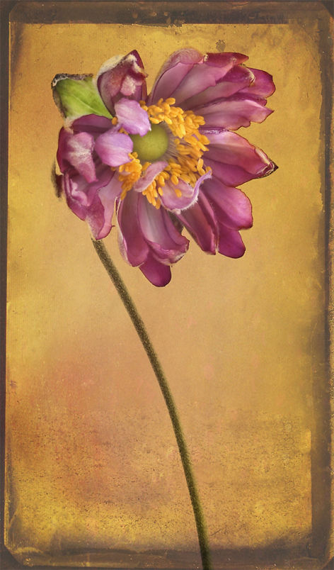Chinese Anemone with Textures