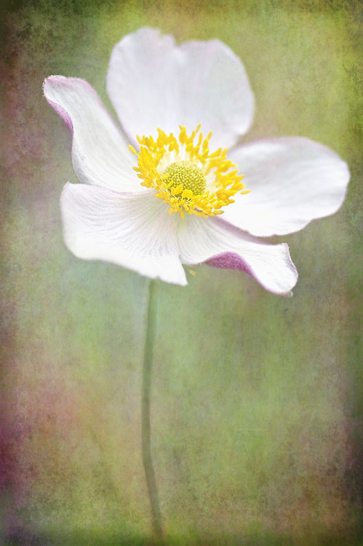 Anemone with Two Textures