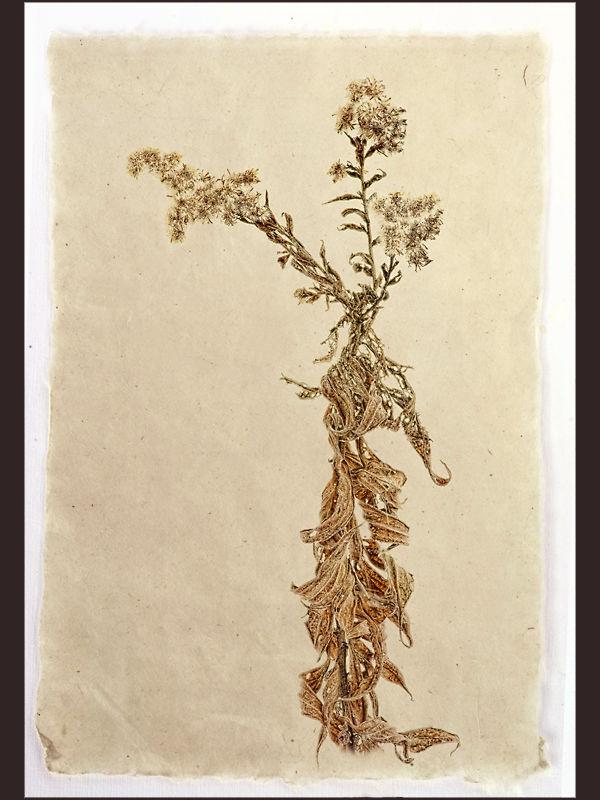 Dry Goldenrod