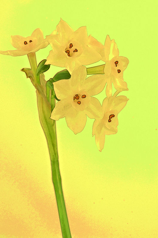 Winter Narcissus