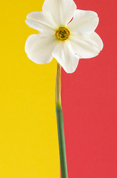 Narcissus on Yellow and Red