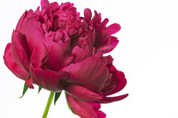 Peony Two