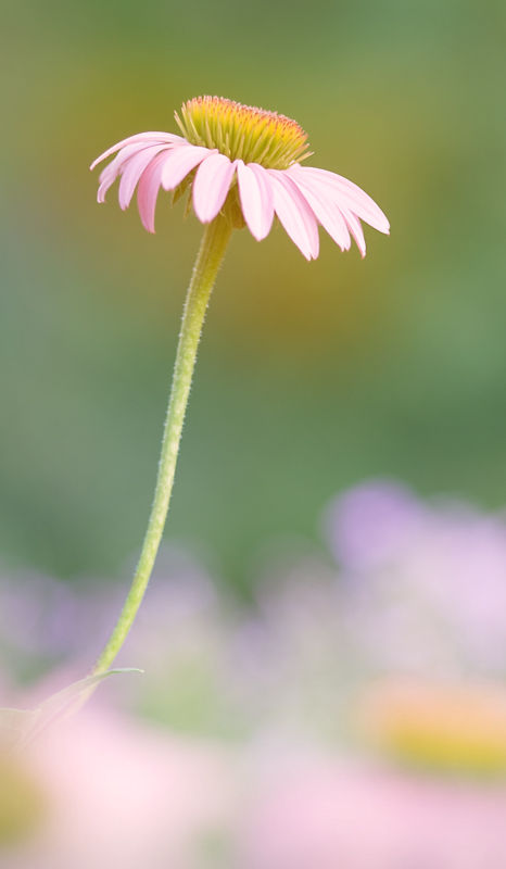 Echinacea or Cone Flower