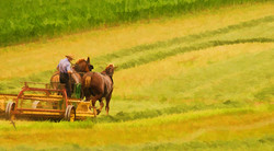 Amish Haying