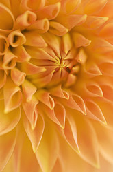 Dahlia 7