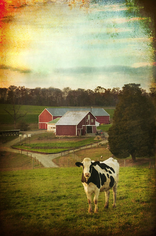 Cow in Landscape