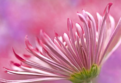 Bright Pink Chrysanthemum