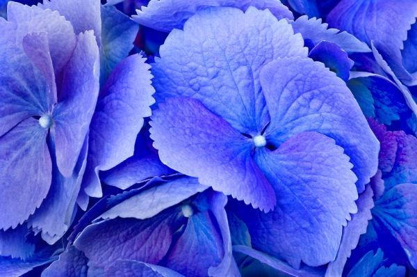 Big Leaf Hydrangea