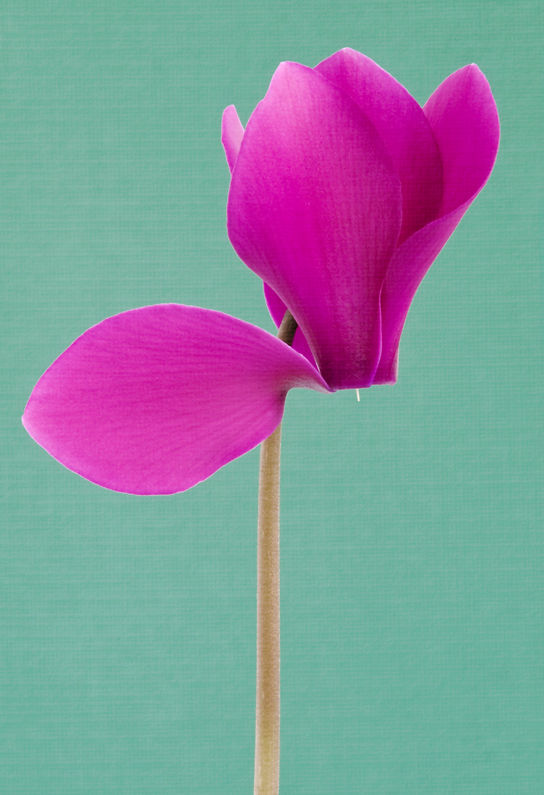 Pink Cyclamen