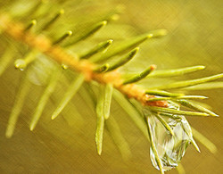 Waterdrop on Spruce Branch