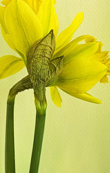 Two Daffodils