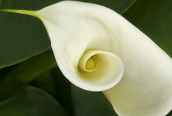 Calla Lily 2