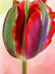 Tulip 3