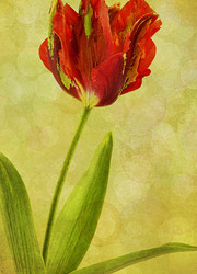 Tulip 5