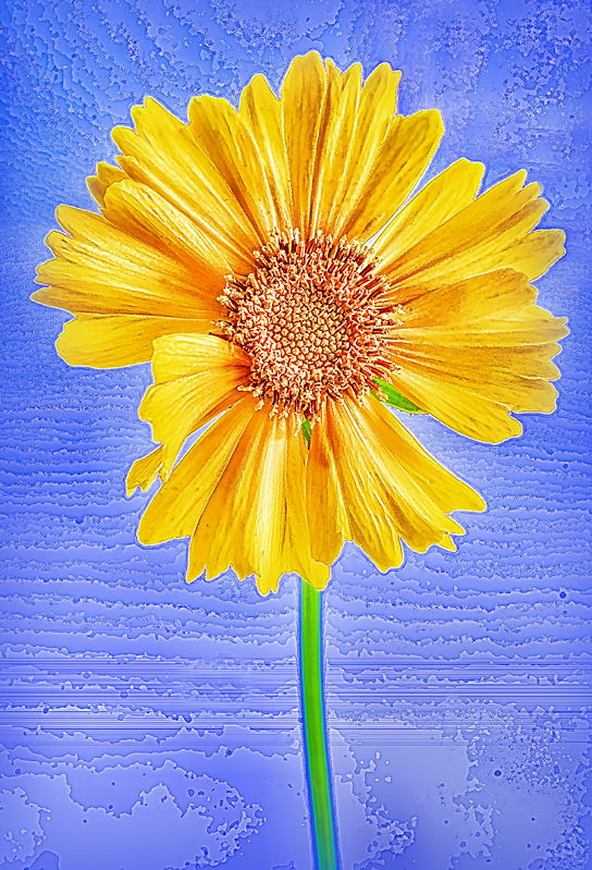 Coreopsis on Blue