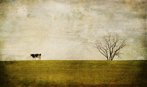 last cow