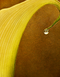 Calla Lily with Drop of Water