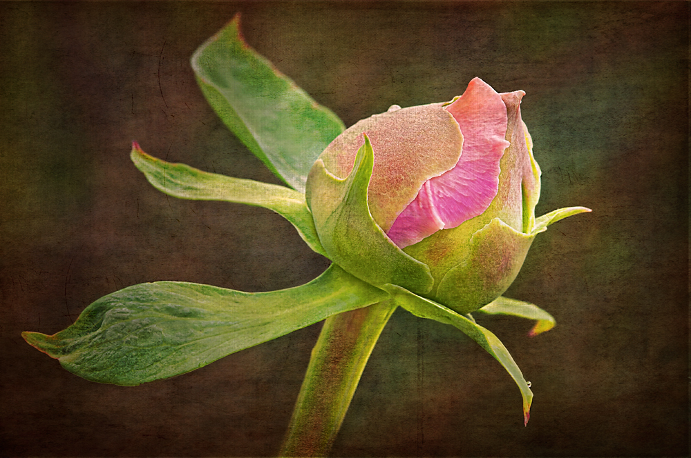 Peony Bud
