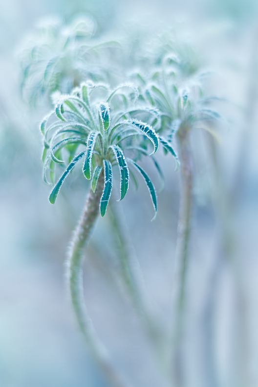 frost rimmed succulent