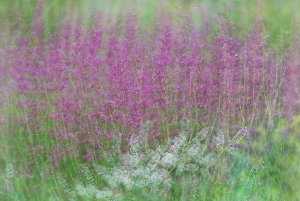 Salvia Multiple-Exposure