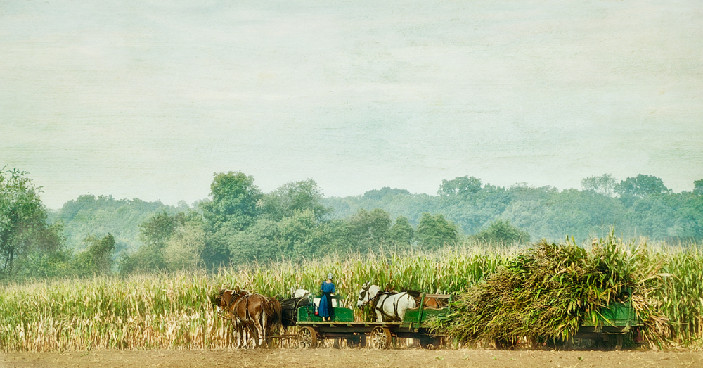 Amish Harvesting Corn