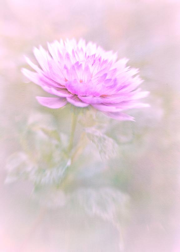 Mums Chrysanthemums