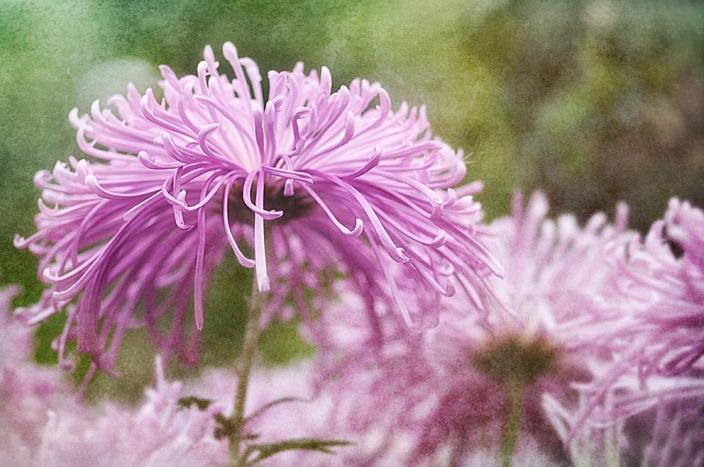 Spider_Mum Chrysanthemum Pink_Mum flower