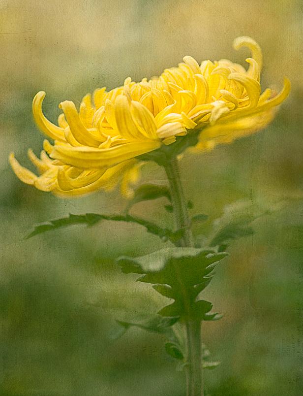 Yellow Mum, Chrysanthemum, Longwood Gardens, flowe