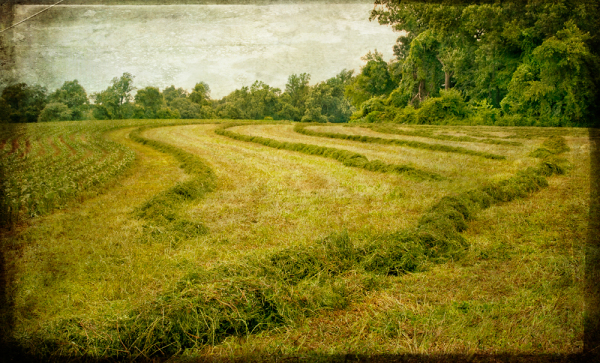 windrow of hay