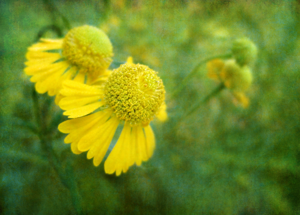 Sneezeweed wildflower flower yellow_flower