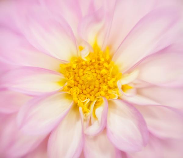Dahlia flower pink_flower