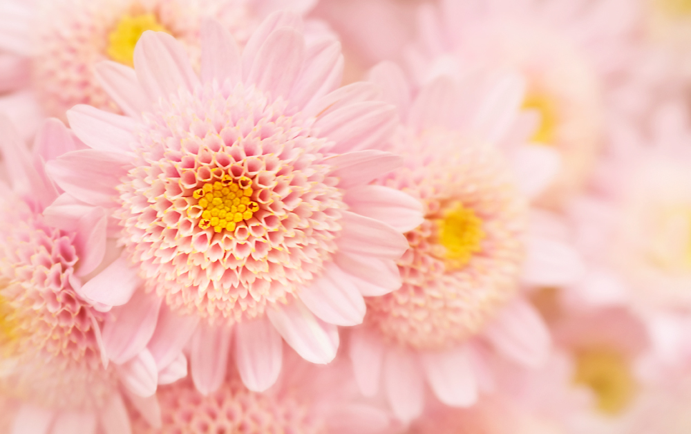 Pink Mums, Chrysanthemum, mums