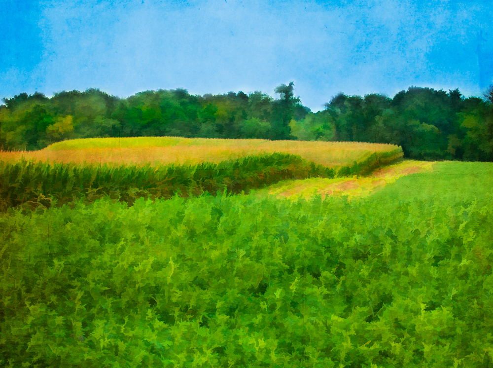 late summer corn