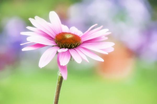 Pasterl Echinacea