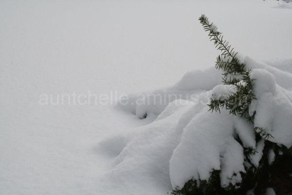 Snowy Evergreen Bush