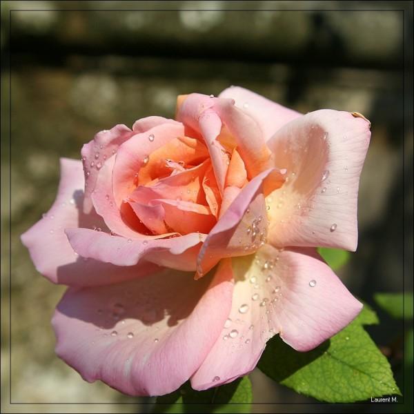 La rose et la rosée
