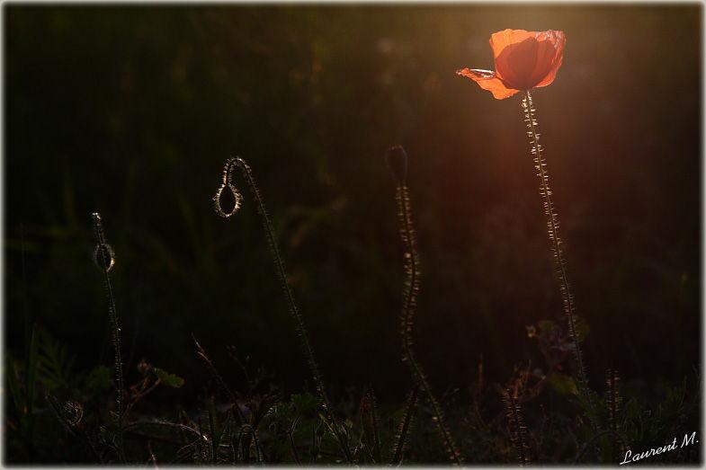 poppy at dusklight